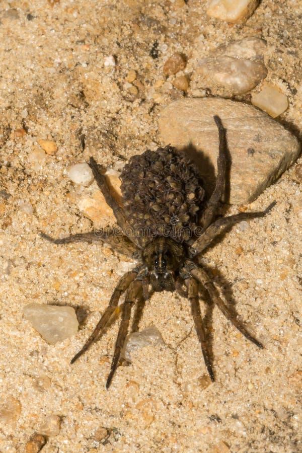 Wolf Spider féminin photographie stock