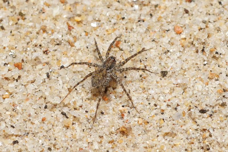 Spider on gravel. A wolf spider on gravel near a forest stream royalty free stock photo