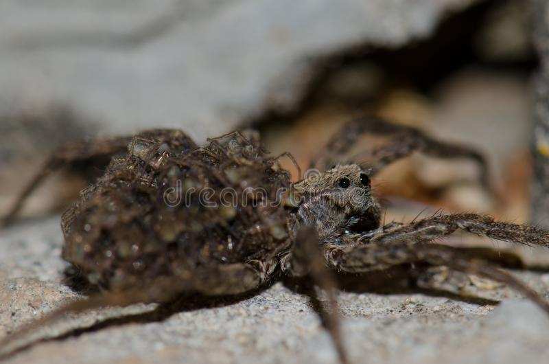 Wolf spider with her young on her back. Wolf spider Lycosidae with her young on her back. Pajonales. Integral Natural Reserve of Inagua. Tejeda. Gran Canaria royalty free stock image