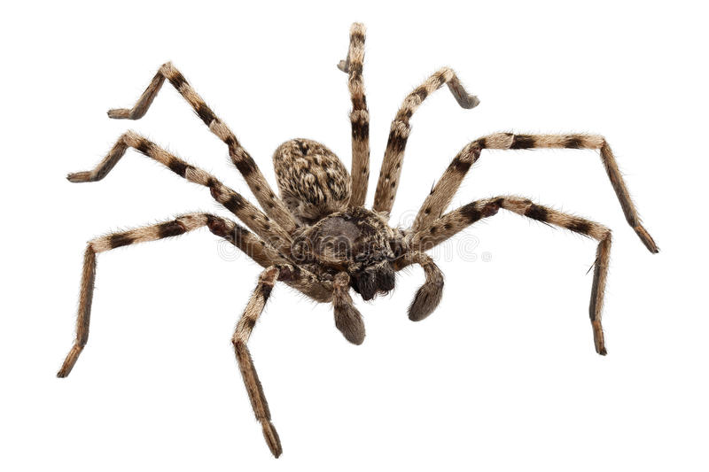 Wolf Spider Lycosa Sp Stock Image