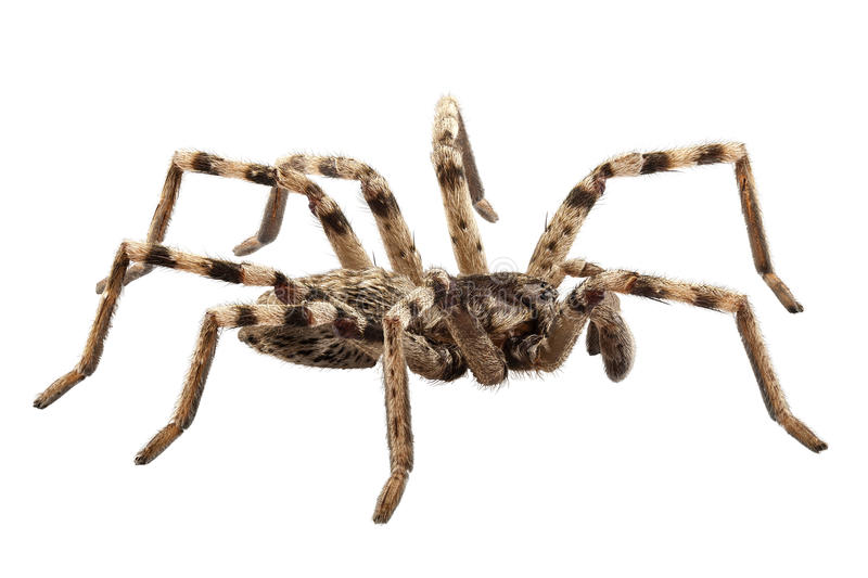 Download Wolf spider lycosa sp stock photo. Image of predator - 28697900
