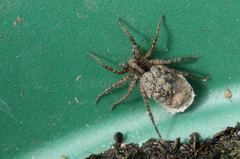 Wolf Spider magnifique, Pardosa, portant ses bébés sur son dos photos libres de droits