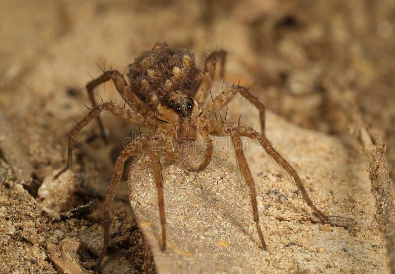 Wolf Spider med behandla som ett barn arkivbild