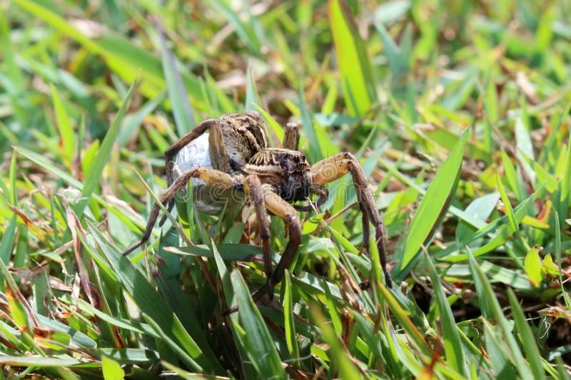 Wolf spider with egg sac. A wolf spider in Papua New guinea spinning an egg sac stock photos