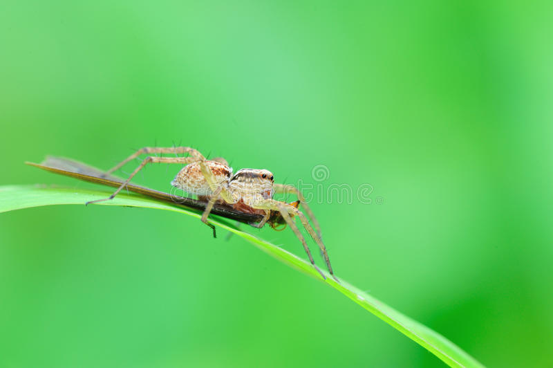 Wolf spider with prey royalty free stock photos