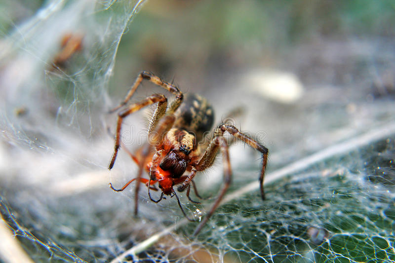 Wolf Spider que alimenta en presa fotos de archivo libres de regalías