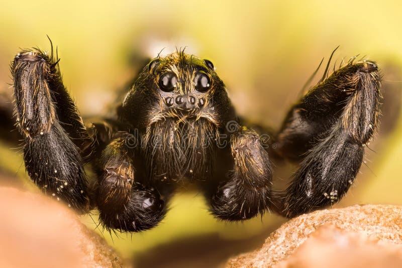 Wolf Spider, ragni, PS di Pardosa fotografia stock