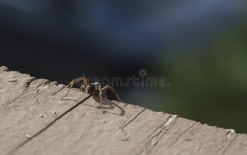 Wolf Spider Standing su un precipizio immagini stock