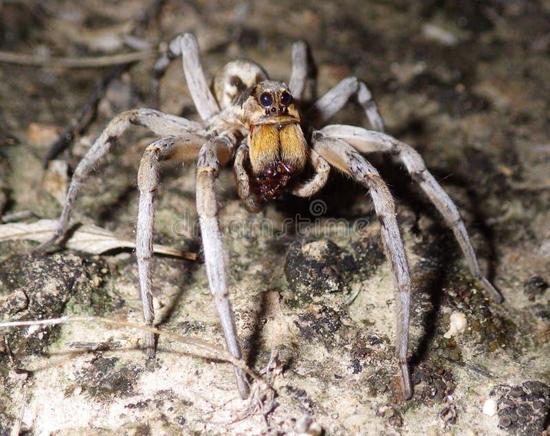 Wolf Spider Sucking Liquified Juice de Shell de la presa imágenes de archivo libres de regalías