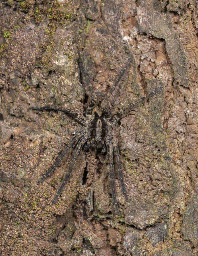 Wolf Spider sur une écorce d'arbre vue aux collines de Garo, Meghalaya, Inde photos stock