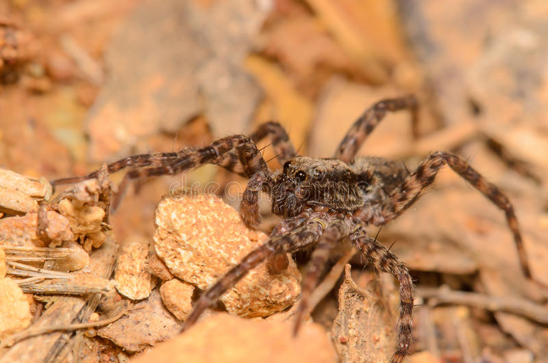 Download Wolf Spider stock image. Image of spring, arthropod, bright - 39501239