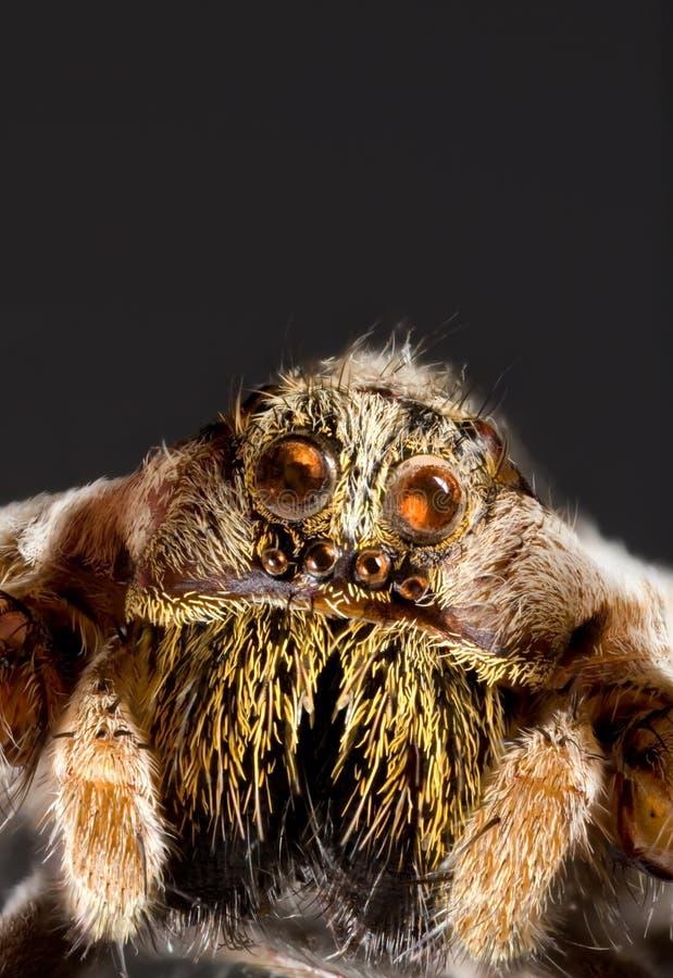 Wolf-Spinnen-Ausschnitt stockfoto