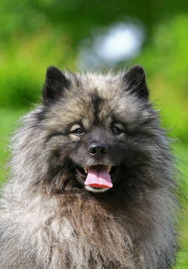 Wolf Spitz stockbild