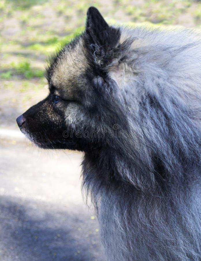 Wolf Spitz Een portret van een rasechte mannelijke Keeshond Duitse Wolfs stock foto