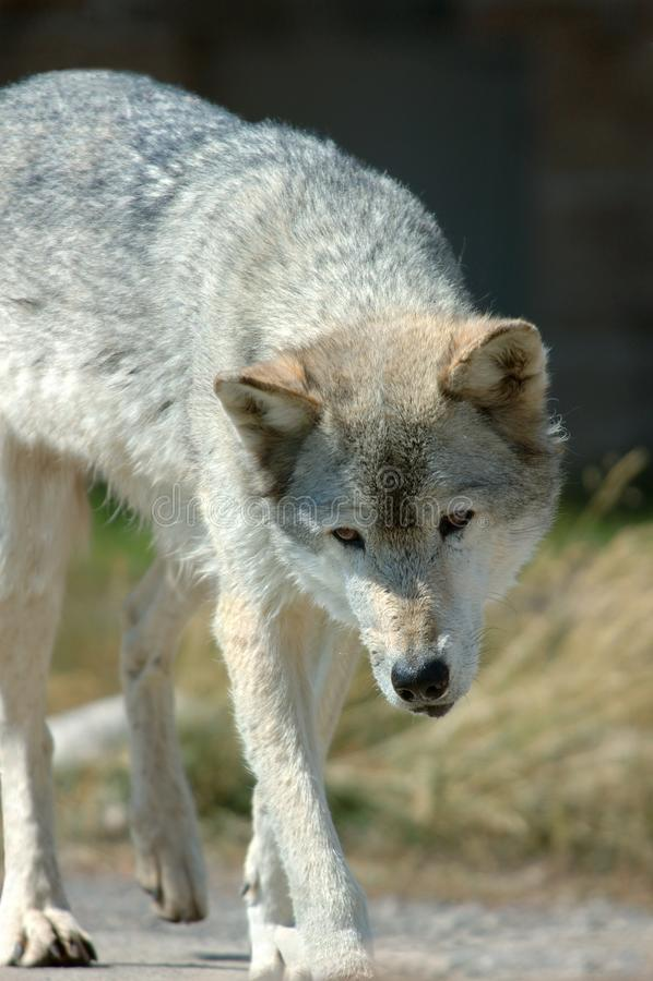 Wolf Stalk photo stock