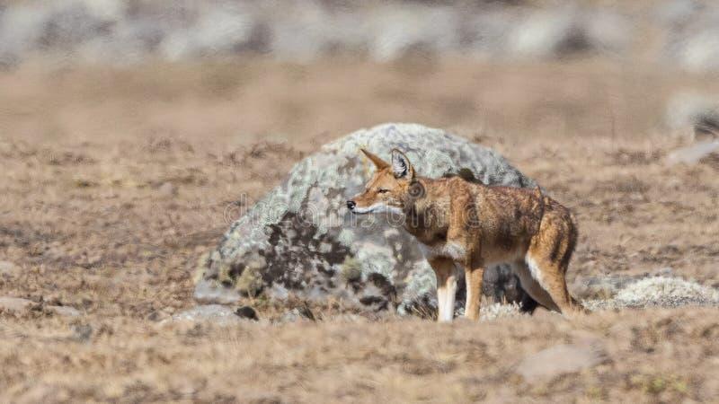 Wolf Standing Before Rock etiopico immagini stock libere da diritti