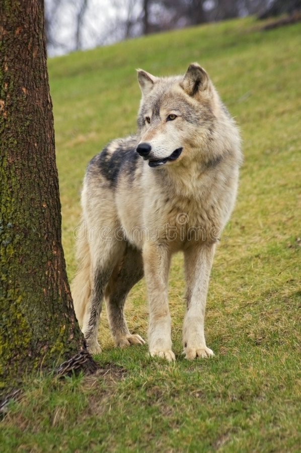 Free Wolf Stands Next To Tree Royalty Free Stock Photos - 2265898