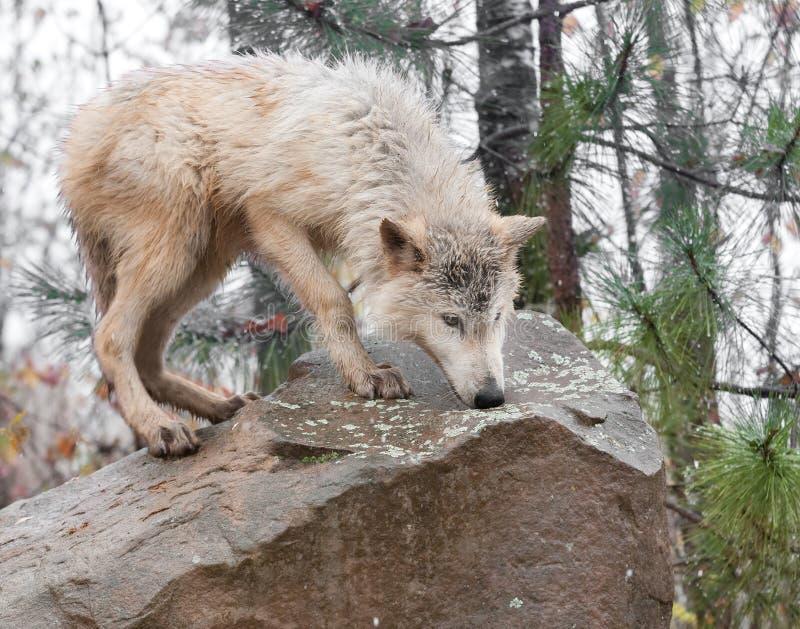 Wolf Stands rubio encima de la roca imagen de archivo