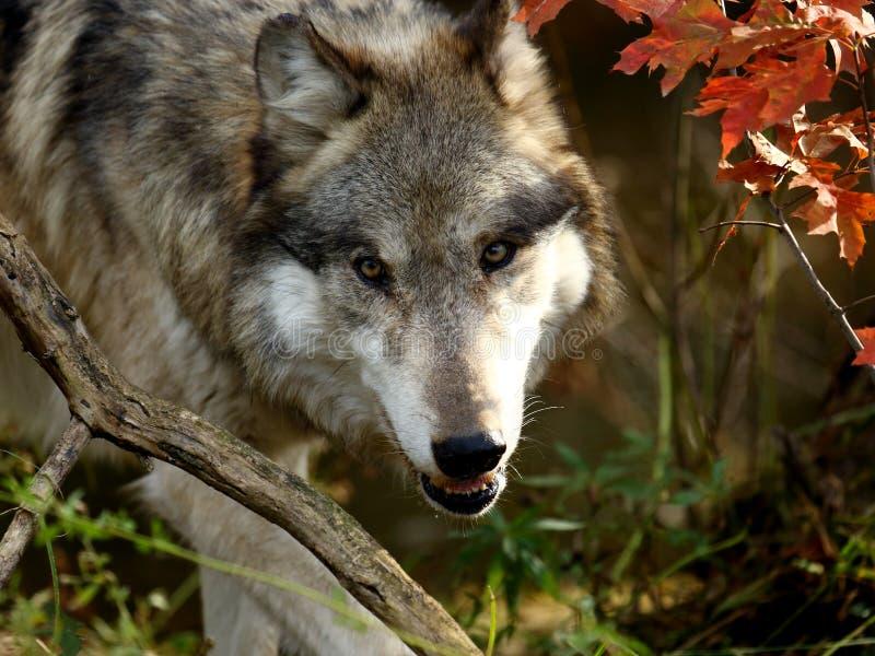 Wolf staring forward through brush royalty free stock photography