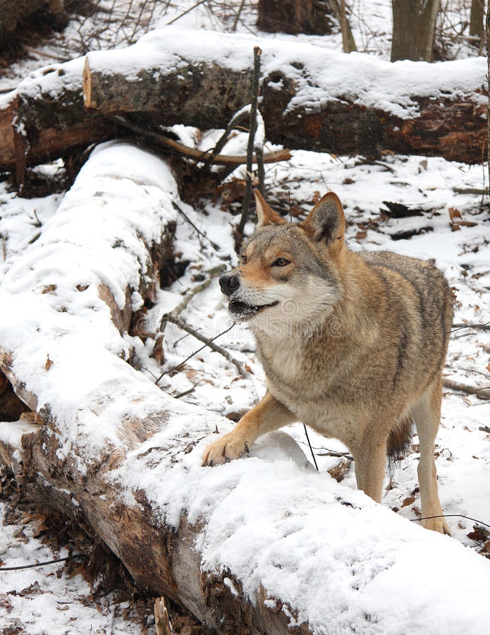 Wolf. Steppe wolf in the winter royalty free stock images