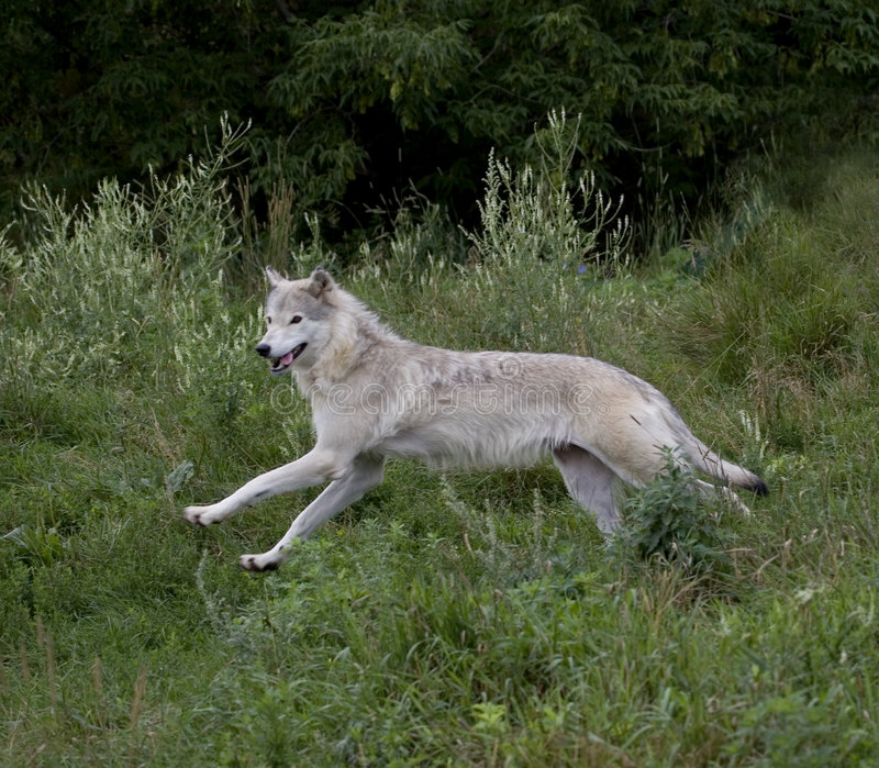 Wolf in summer stock photos