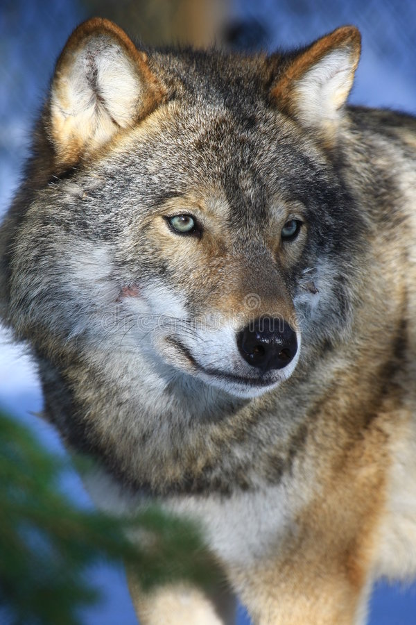 Wolf in Sweden stock photos