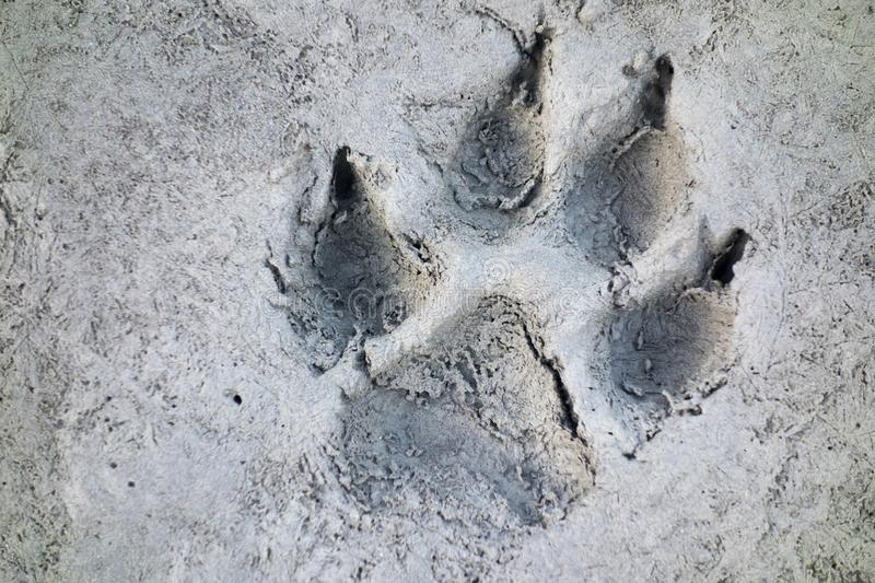 Wolf Track Prints Canadian Rocky Mountain Wilderness stock photo