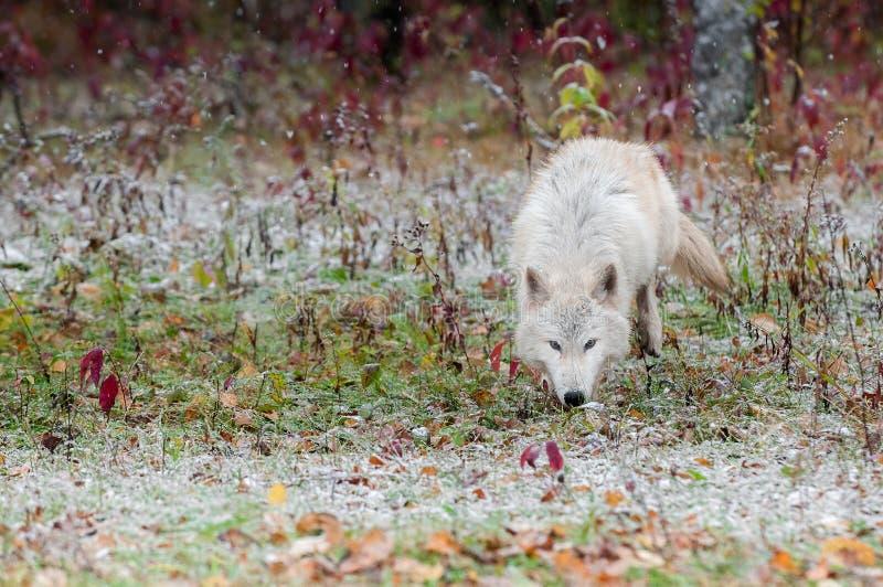 Wolf Trots Along rubio en nevadas tempranas fotos de archivo
