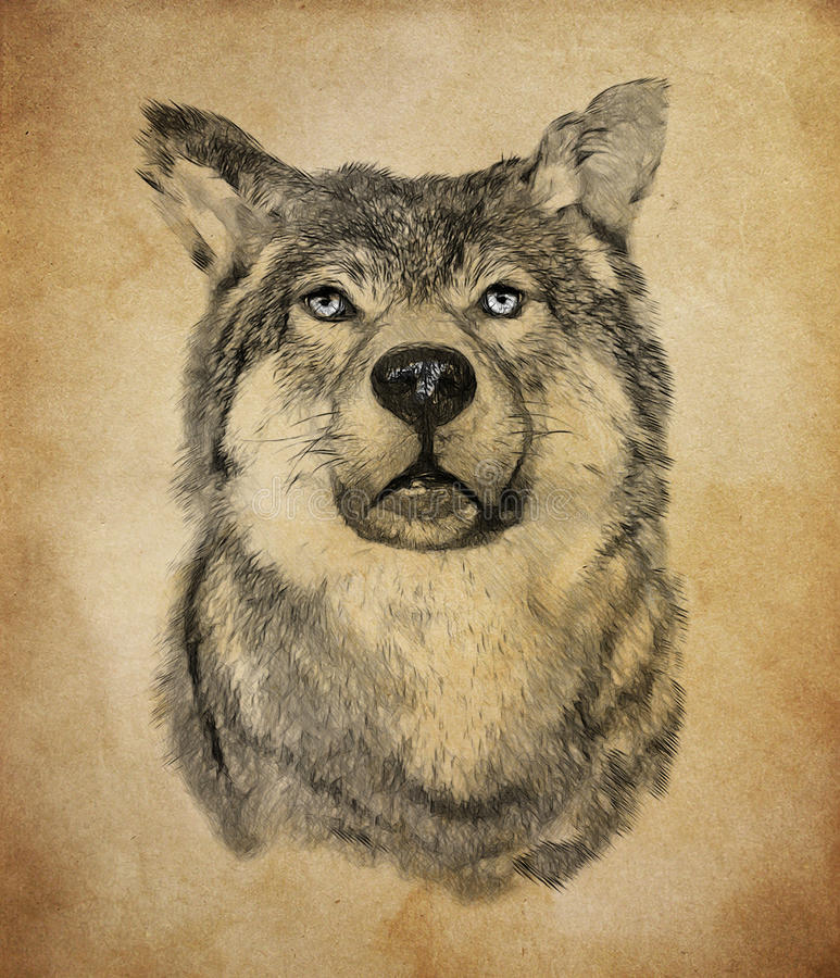 Wolf on vintage background. Illustration in draw, sketch style stock photography
