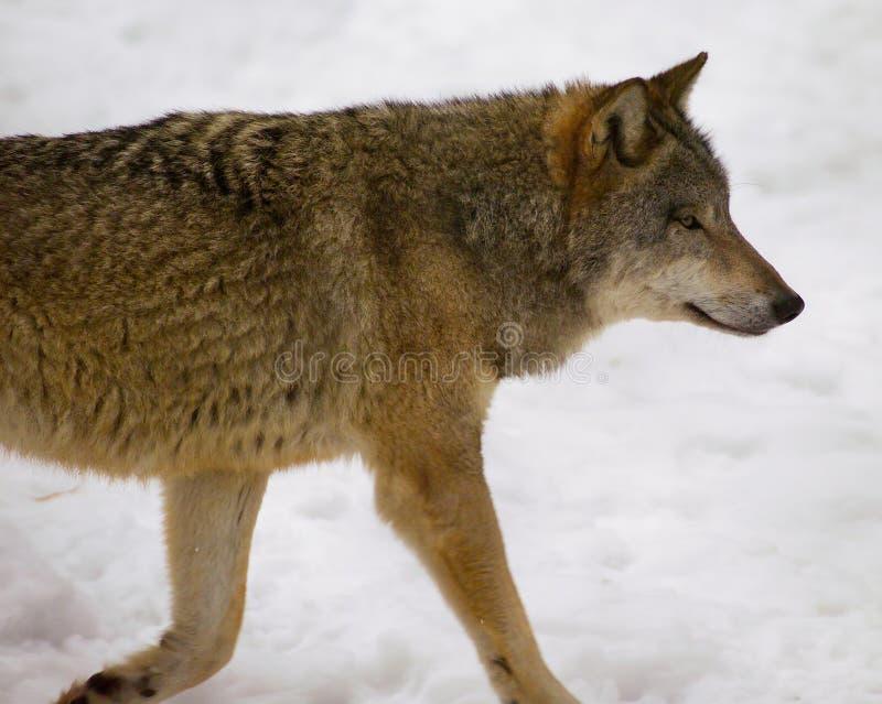 Wolf von Bialowieza/von Polen lizenzfreie stockbilder