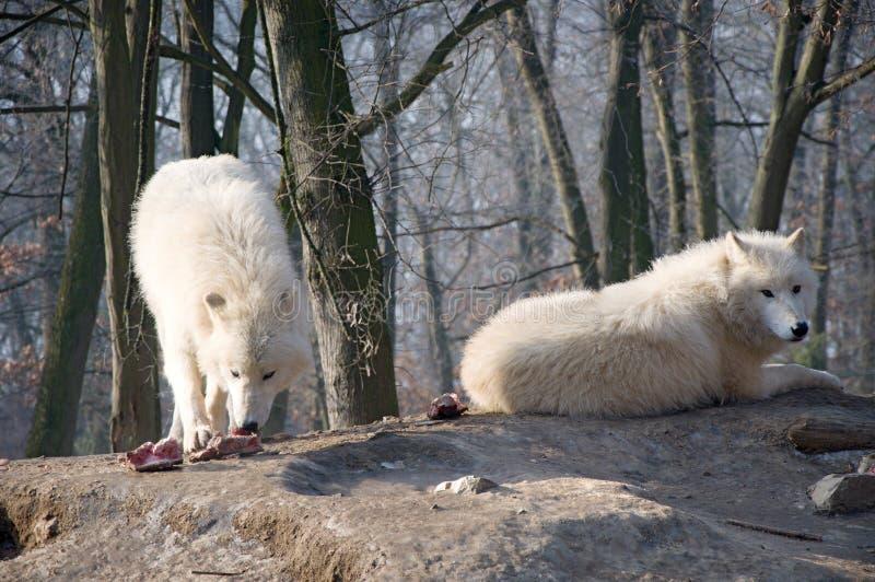Wolf-Wölfe stockfoto