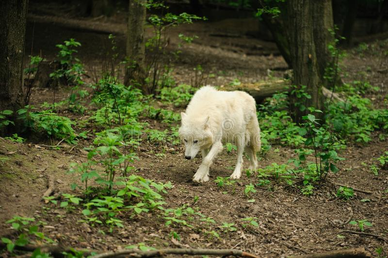 White wolf walking on a ground. Wolf walking on the ground, animal, nature, mammal, outdoor, wildlife, predator, quot, canis, lupusquot, outside, canine stock photo