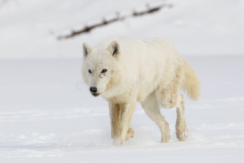 Wolf Walking In Snow ártico imagem de stock