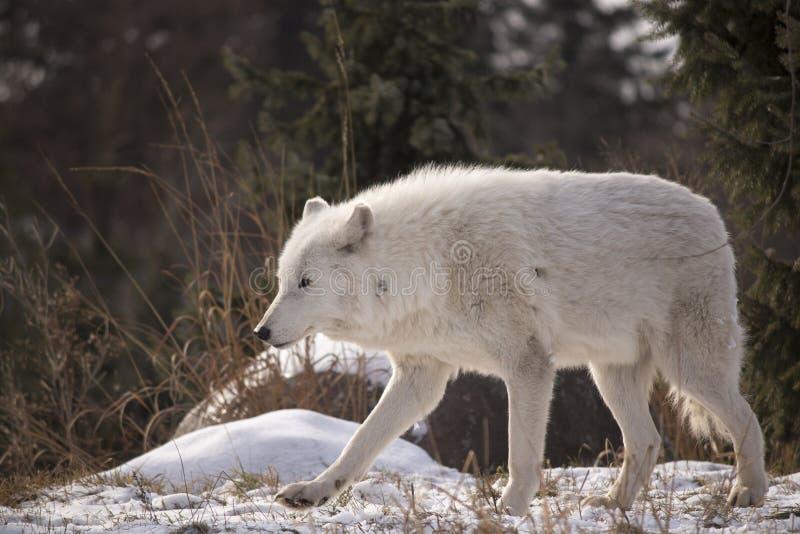 Wolf Walking In The Snow arctique images libres de droits