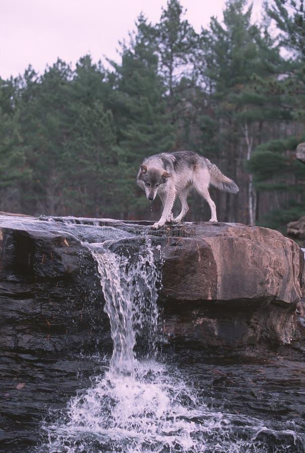 Wolf at waterfall