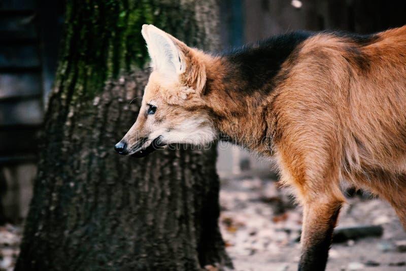 Wolf Wild Dog Chryoscyon Brachyurus fotografering för bildbyråer
