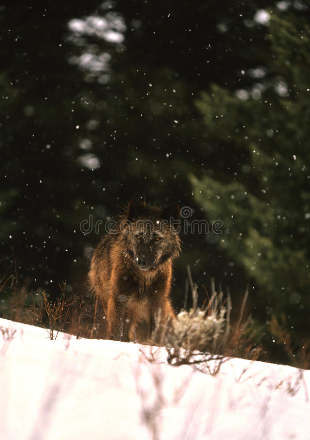 Download Wolf in Winter stock photo. Image of nature, canine, wolf - 15849938