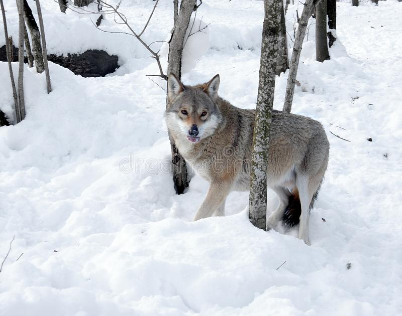 Wolf in the winter wood. The wolf eats meat after successful hunting royalty free stock photos