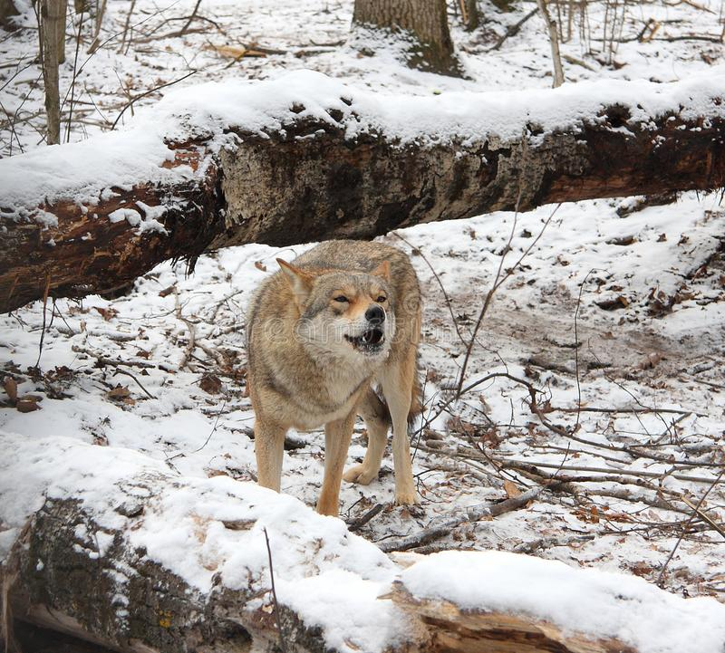 Wolf in the winter wood. The gray wolf costs on snow in the winter wood royalty free stock image