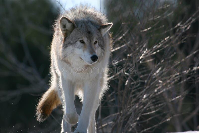 wolf winter2 royaltyfri bild
