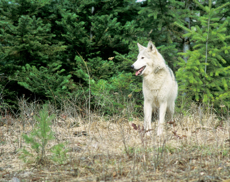 Wolf, Wolf. A Wolf at the edge of a forrest stock photo