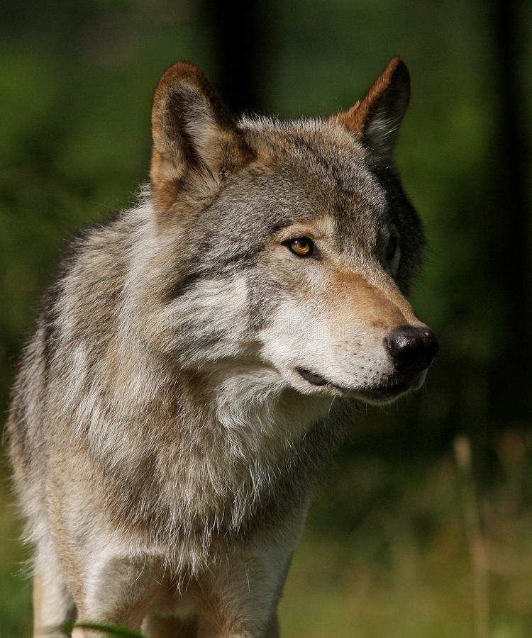 Wolf in the woods stock photo