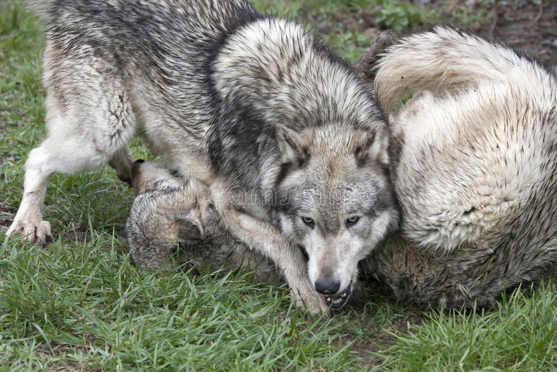 Wolf Wrestling Match royalty-vrije stock foto's