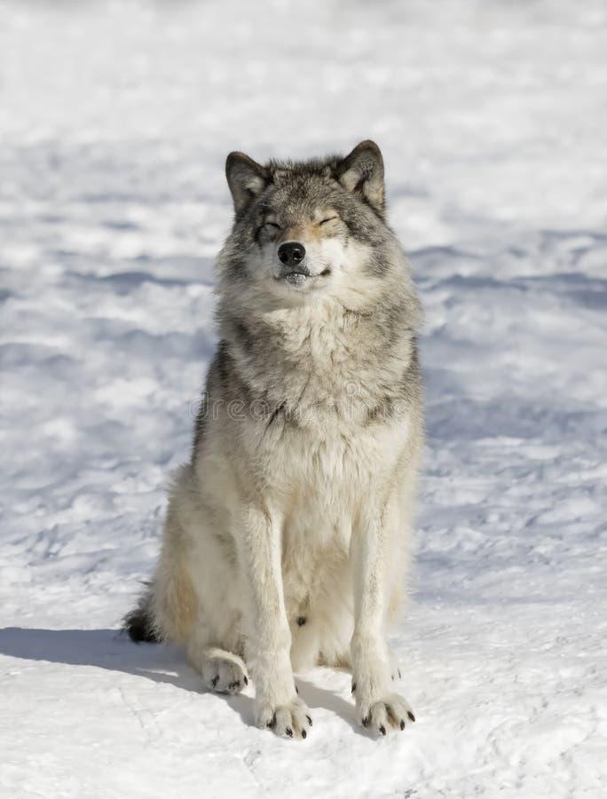 Wolf Zen immagine stock