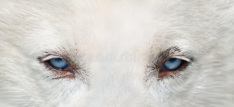 Wolfaugen stockfoto