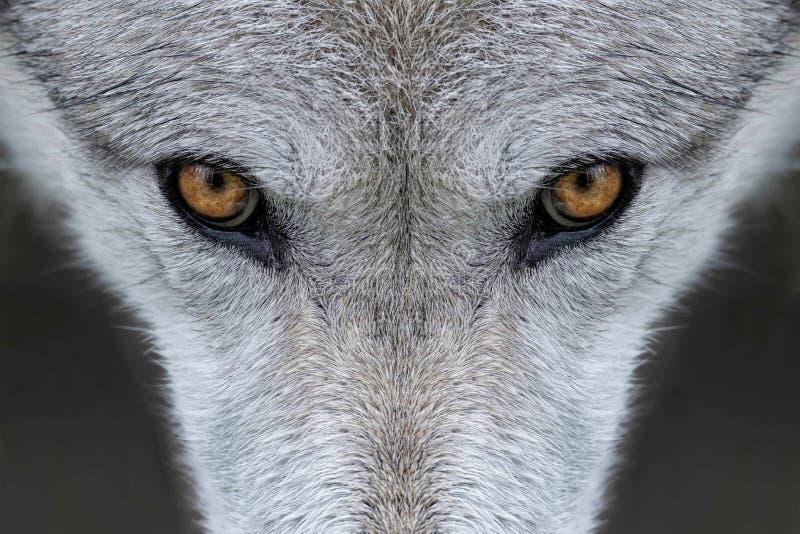 Wolfaugen lizenzfreie stockfotografie