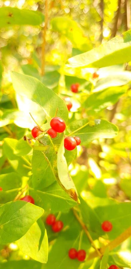 wolfberry bär royaltyfria foton