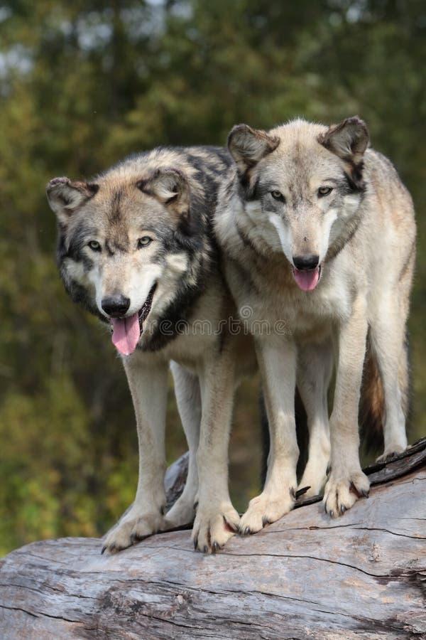 WolfCanisLupus lizenzfreie stockfotos