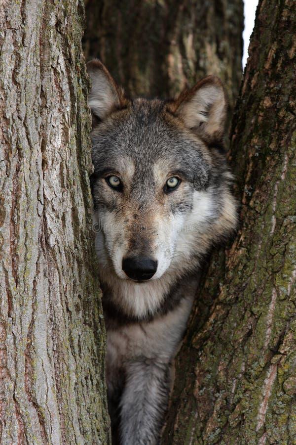 WolfCanisLupus lizenzfreie stockbilder