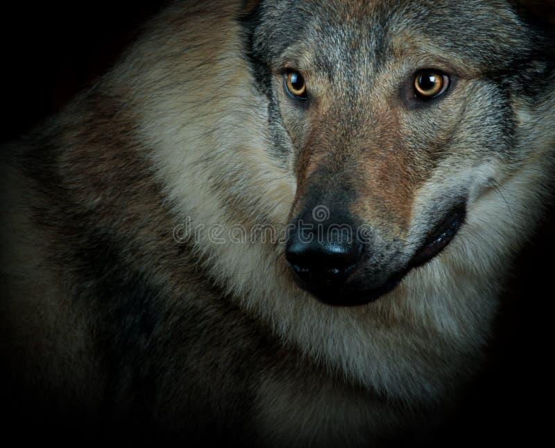 Wolfdog royalty-vrije stock foto